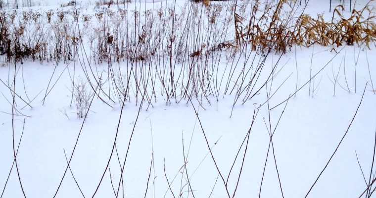 Willows in the snow